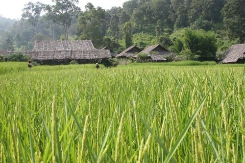 Peaceful Rice Field