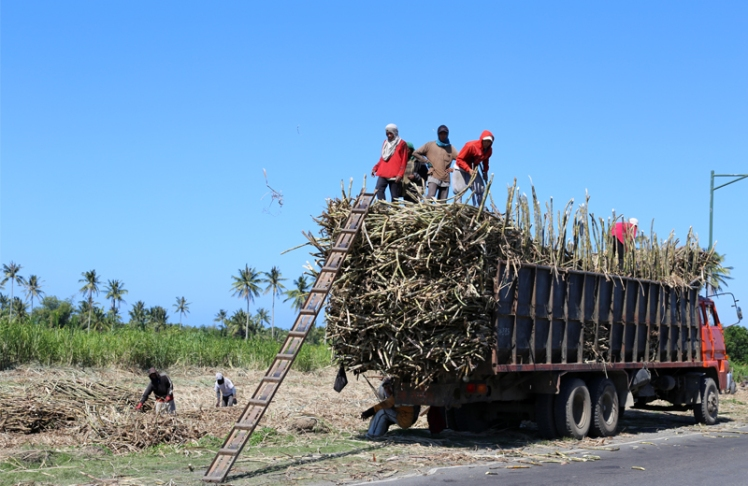 Sugarcane Harvesting on Bacolod Philippines